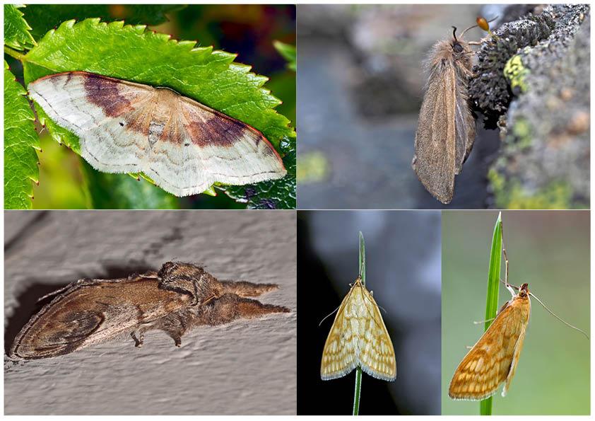 Nachtfalter, die uns auch am Tag erfreuen! (27) - Papillons de nuit qui nous réjouissent le jour.