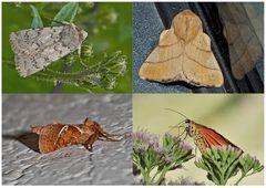 Nachtfalter, die uns auch am Tag erfreuen (28) - Papillons de nuit qui nous réjouissent le jour.