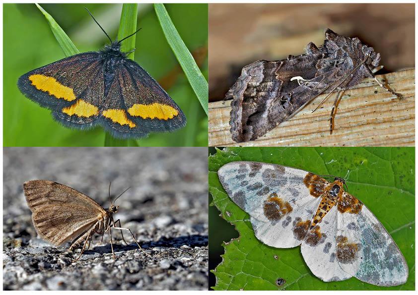 Nachtfalter, die uns auch am Tag erfreuen! (3) - Papillons de nuit qui nous réjouissent le jour!