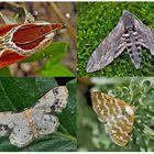 Nachtfalter, die uns auch am Tag erfreuen! (4) - Papillons de nuit qui nous réjouissent le jour!