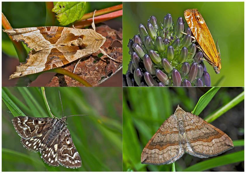 Nachtfalter, die uns auch am Tag erfreuen! (5) - Papillons de nuit qui nous réjouissent le jour!