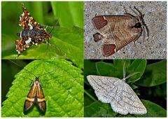 Nachtfalter, die uns auch am Tag erfreuen! (6) - Papillons de nuit qui nous réjouissent le jour!