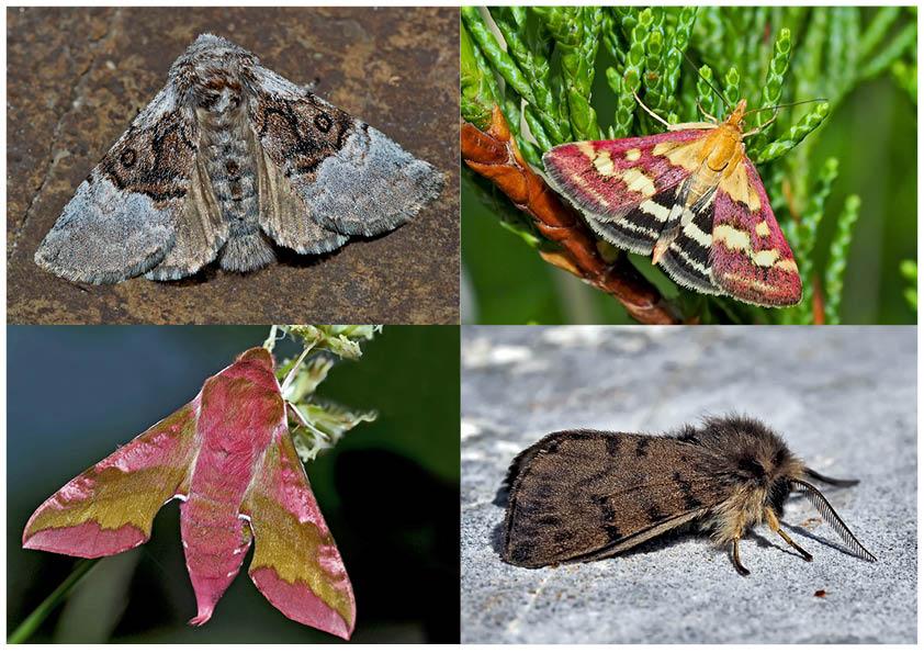 Nachtfalter, die uns auch am Tag erfreuen! (7) - Papillons de nuit qui nous réjouissent le jour!