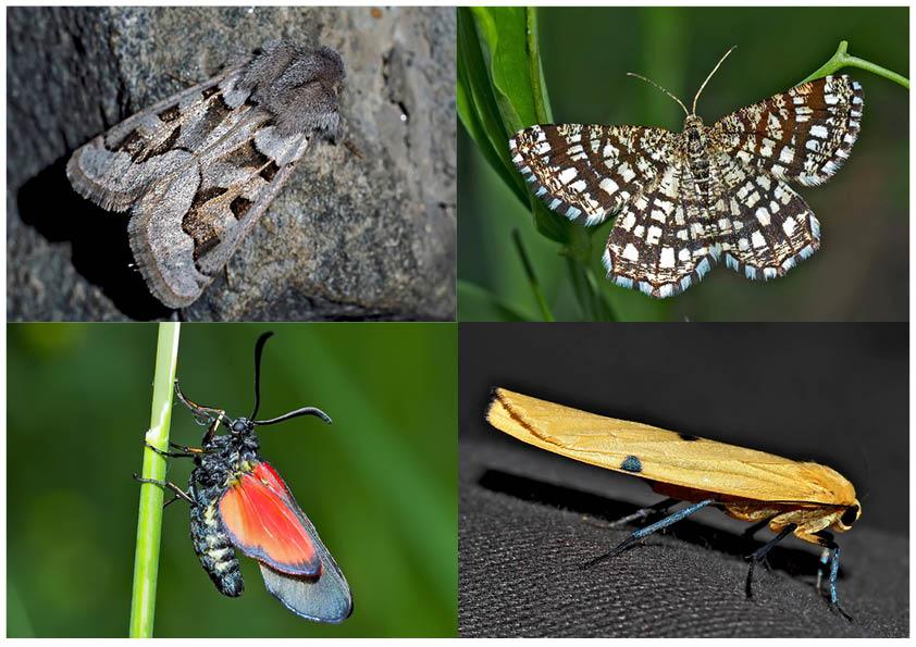 Nachtfalter, die uns auch am Tag erfreuen! (8) - Papillons de nuit qui nous réjouissent le jour!