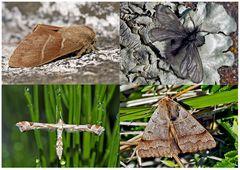 Nachtfalter, die uns auch am Tag erfreuen! (9) - Papillons de nuit qui nous réjouissent le jour!