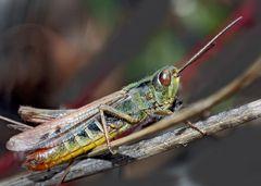 Nachtigall-Grashüpfer (Chorthippus biguttulus) - Criquet mélodieux!