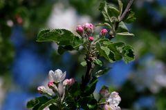 Nachtrag: Apfelblüten