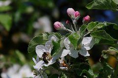 Nachtrag: Apfelblüten, da war noch wer...