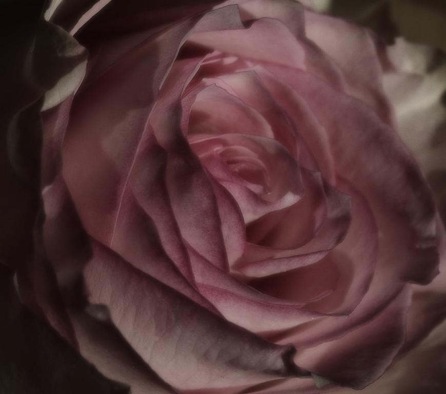 Nachtrose