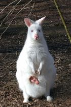 Nachwuchs bei Albinos...