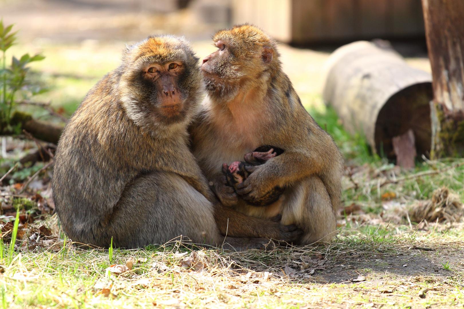 Nachwuchs bei den Affen im Tierpark Ueckermünde :)