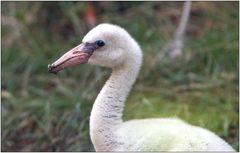 ... Nachwuchs bei den Flamingos ...