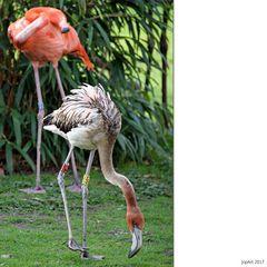 Nachwuchs bei den Flamingos...