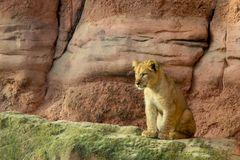 Nachwuchs bei den Löwen #2