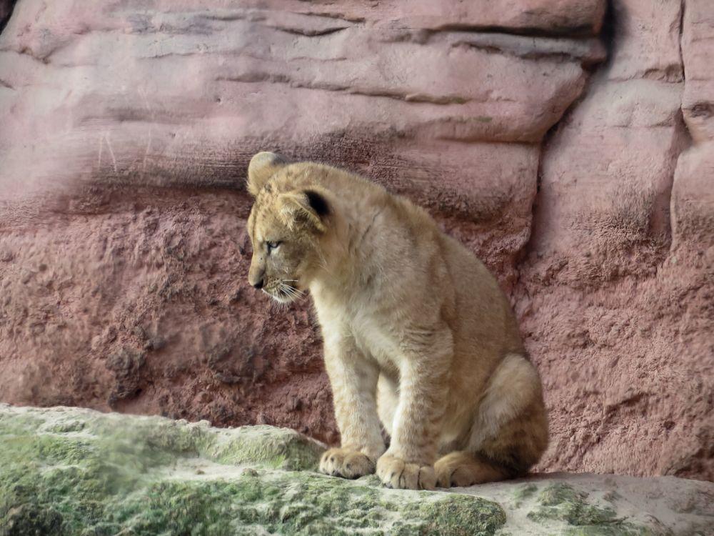 Nachwuchs bei den Löwen