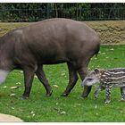 Nachwuchs bei den Tapiren...