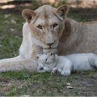 Nachwuchs bei den Transvaal-Löwen.....