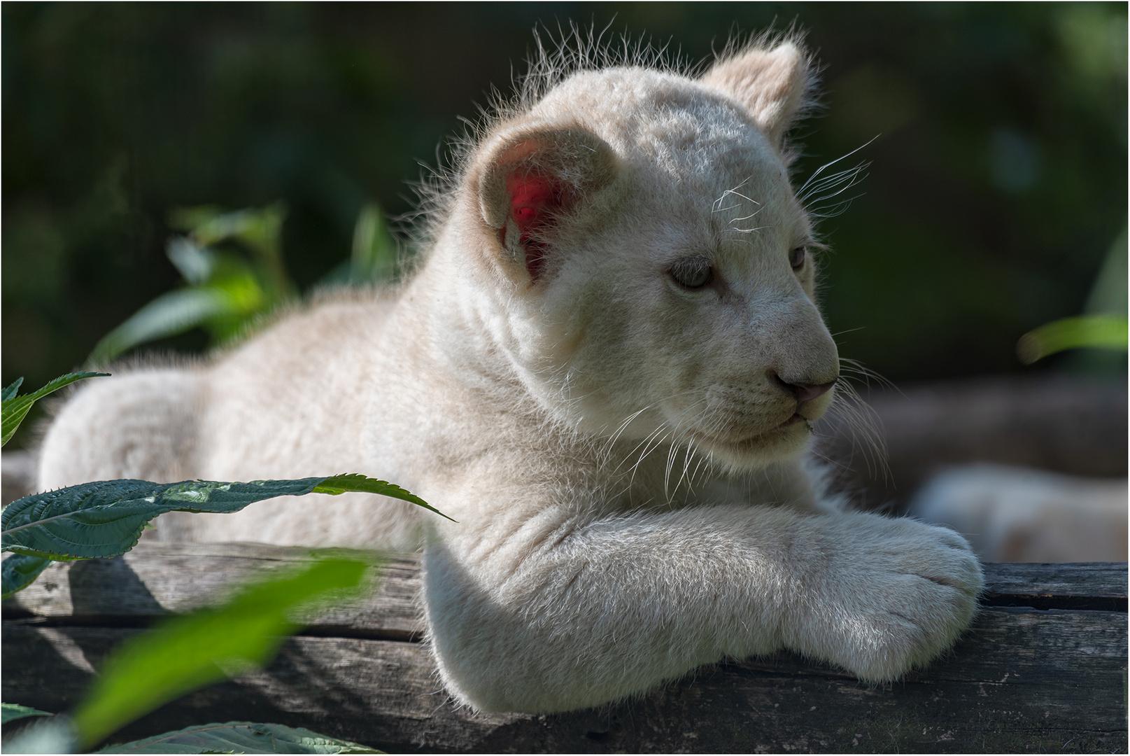 Nachwuchs bei den Transvaal-Löwen