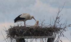 Nachwuchs bei Familie Storch???