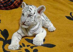 Nachwuchs bei unseren weissen Tigern