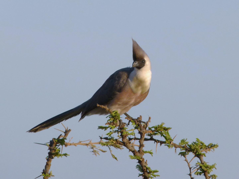 Nacktkehl-Lärmvogel in der Masai Mara