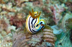 Nacktschnecke (Chromodoris quadricolor => Pyjama-Chromodoris)