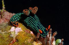 Nacktschnecke Nembrotha kubaryana