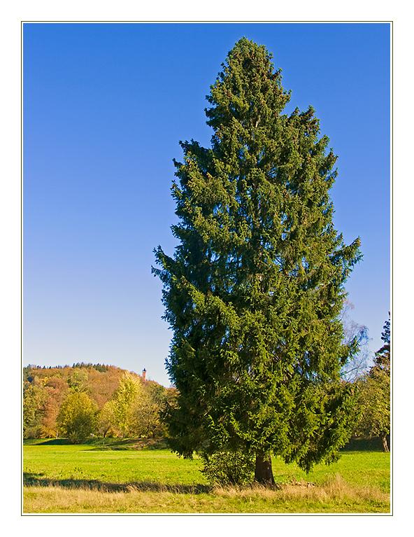 Außergewöhnlich Nadelbaum im Herbst 2 Foto & Bild   pflanzen, pilze & flechten @EN_05