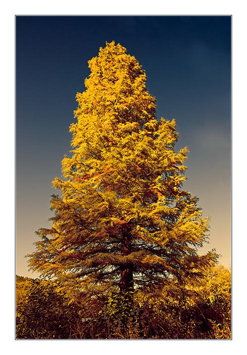 nadelbaum im herbst foto  bild  pflanzen pilze