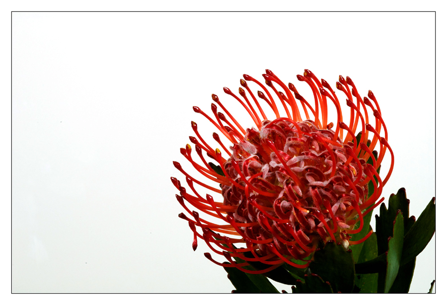 Nadelkissen-Protea