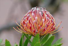Nadelkissenblüte (Leucospermum cordifolium)