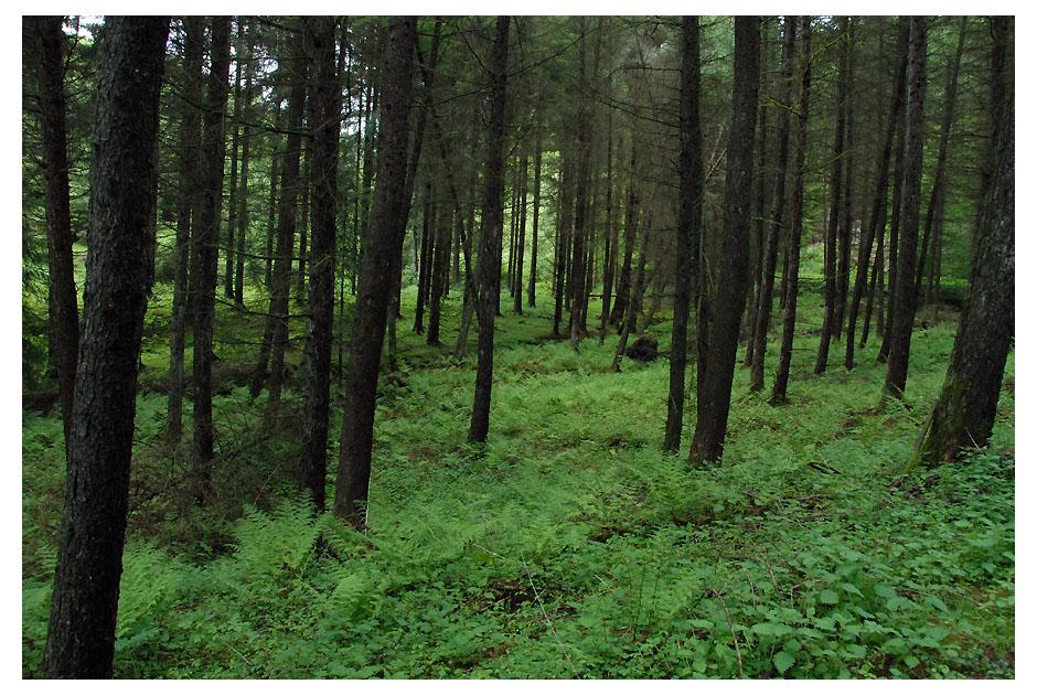 Nadelwald mit Farnteppich