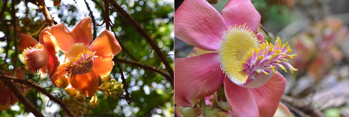 Nagalinga flower