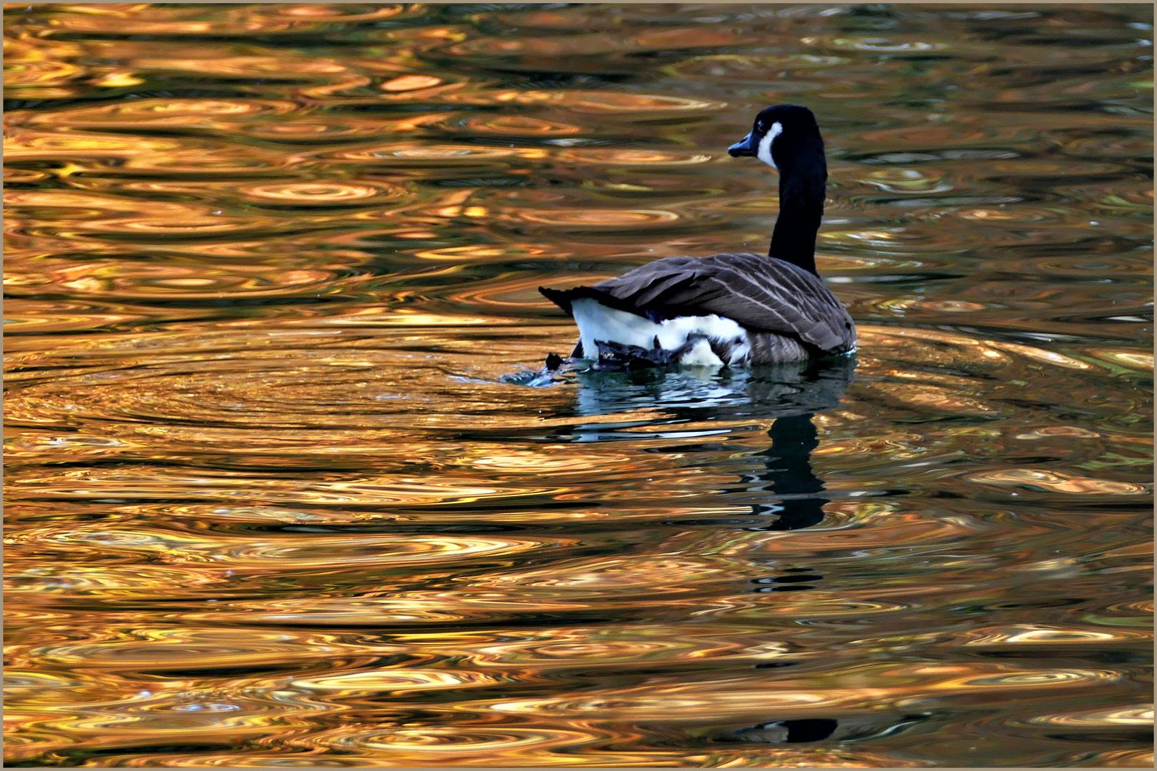 nager dans l or......