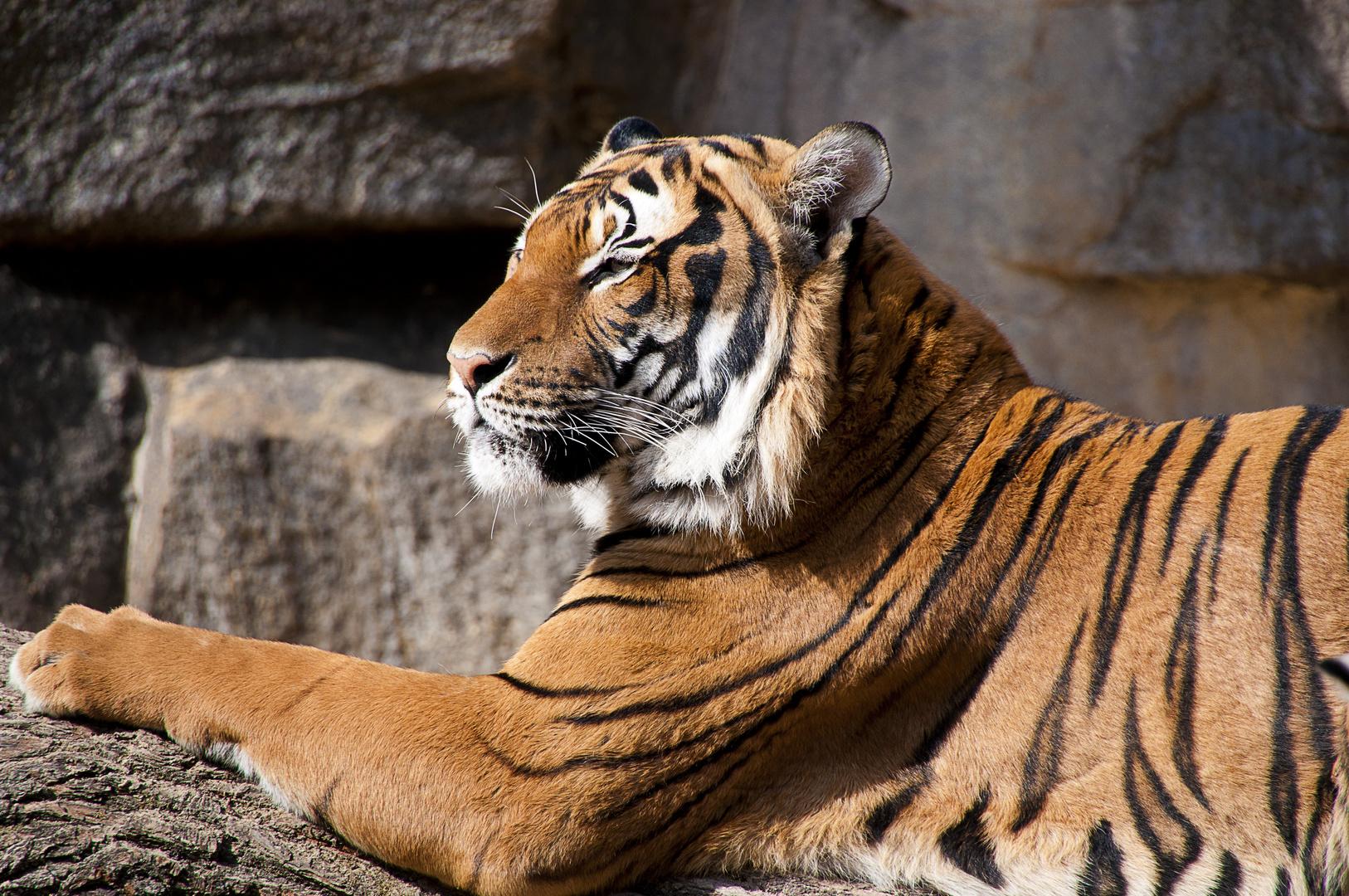 Nah-genug Aufnahme eines Tigers