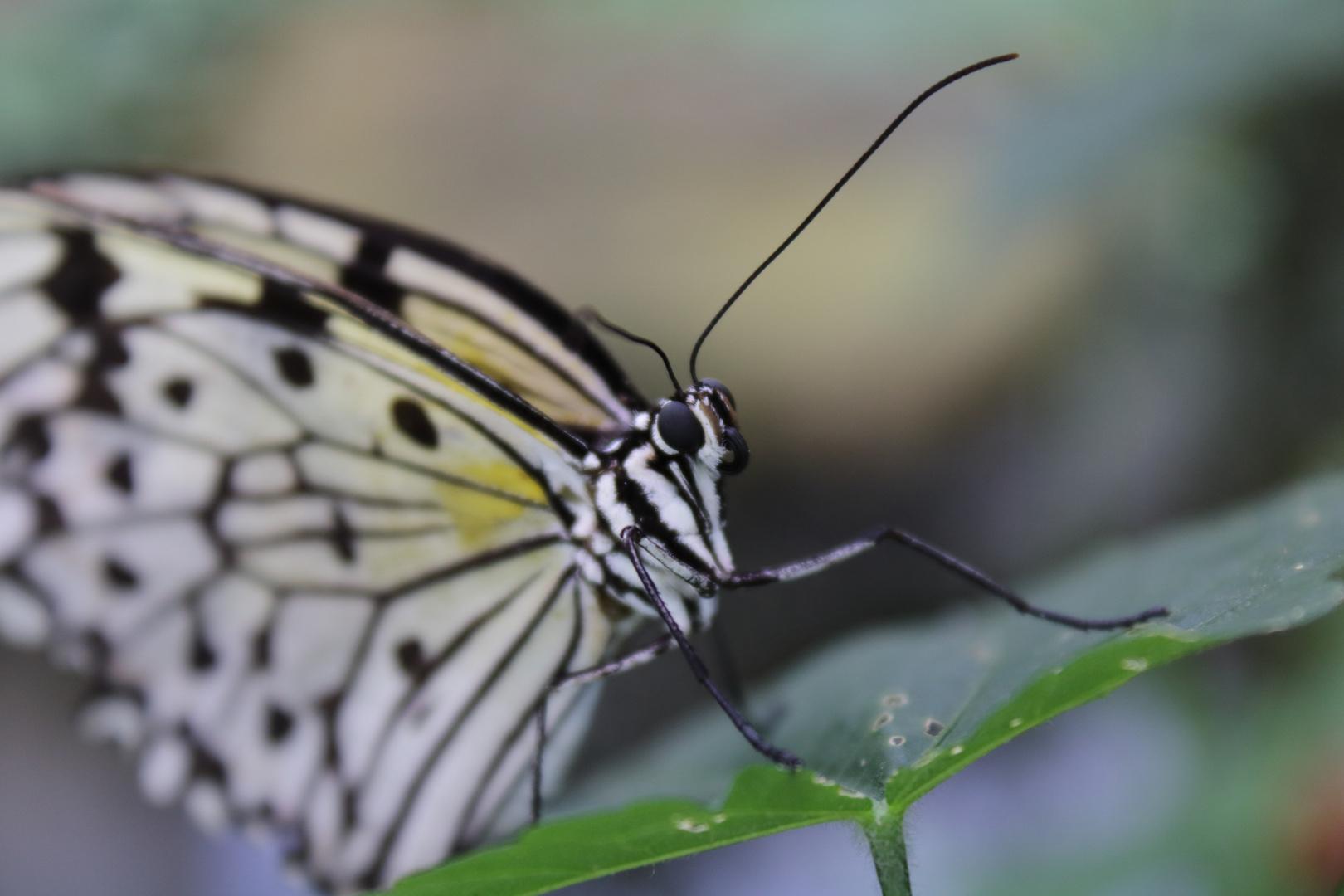 Nahaufnahme Schmetterling