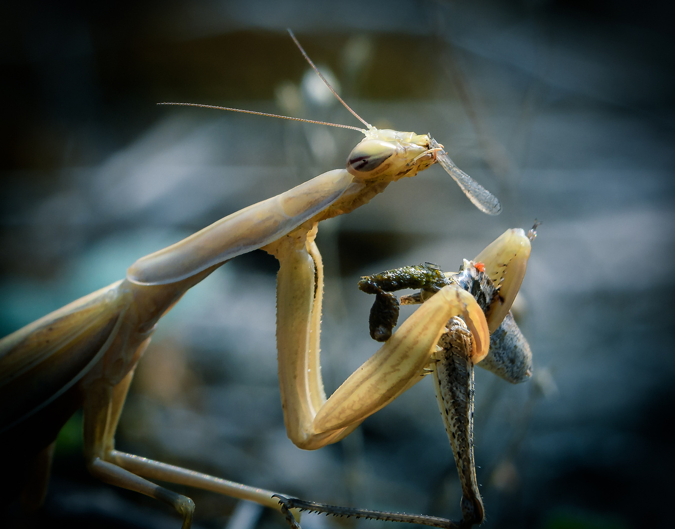 Nahrungsaufnahme der Gottesanbeterin Flügeldetail