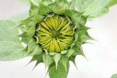 naissance de la fleur de tournesol