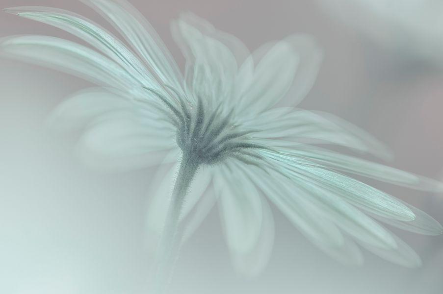 Namaqua daisy