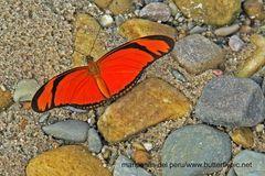 Namenlose Schönheit (noch) PS: Dryas iulia, Orange Longwing !!!