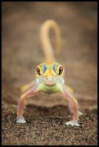 Namib Gecko