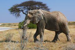 Namibia - Begegnung mit Elefanten im Ethosha Nationalpark