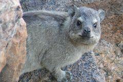 Namibia - Ein Klippschliefer