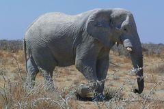 Namibia - Ein Prachtexemplar von Elefant