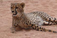 Namibia - Gepard (Hammerstein Lodge)