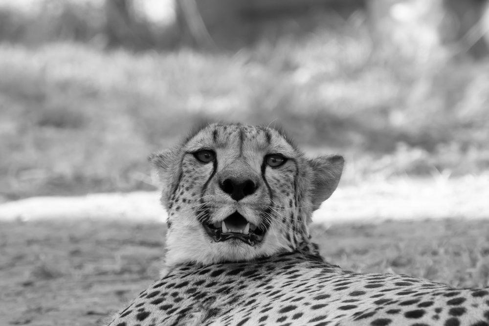 Namibia Geparden