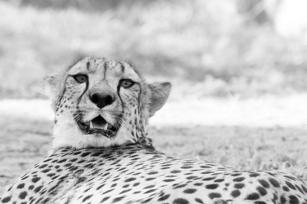 Namibia Geparden die Zweite