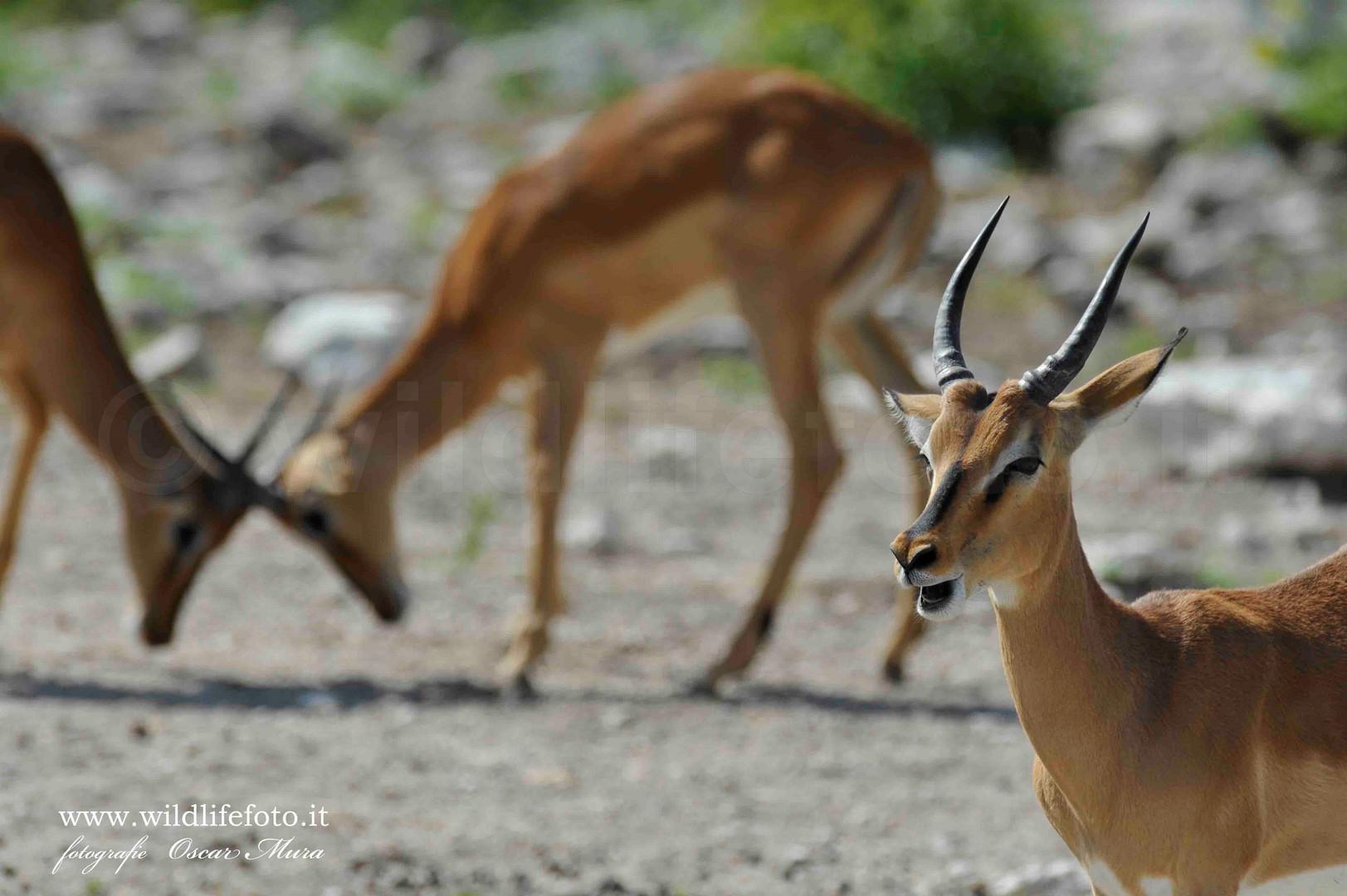 Namibia Impala dal muso nero