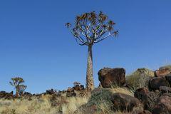 Namibia - Köcherbaum