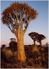 Namibia: Köcherbaumwald